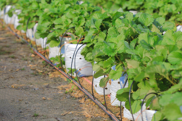 Drip Irrigation system saves a lot of water